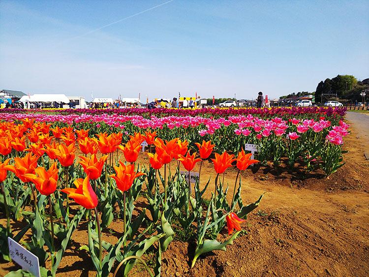 佐倉ふるさと広場の景色 チューリップ