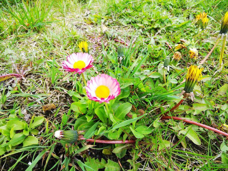 たんぽぽ 亜種 変な花